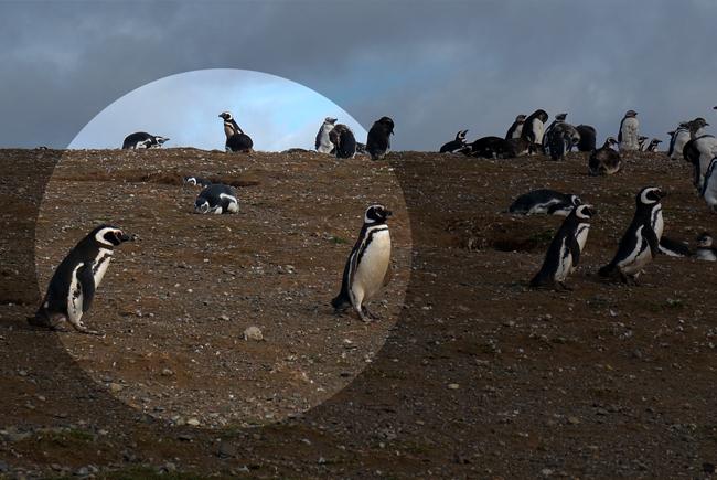 logo pingwiny